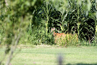 Fawn Behind the House 08/13/2013